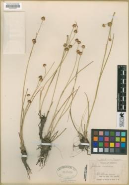 Juncus nodosus var. meridianus image