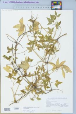 Clematis columbiana var. columbiana image