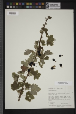 Image of Ribes oxyacanthoides