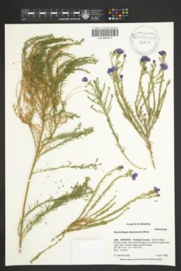 Nierembergia hippomanica image