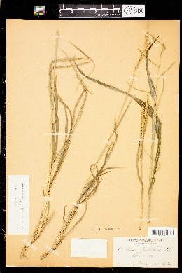 Image of Paspalum fimbriatum