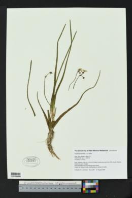Image of Sagittaria demersa