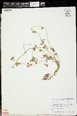 Trifolium scabrum image