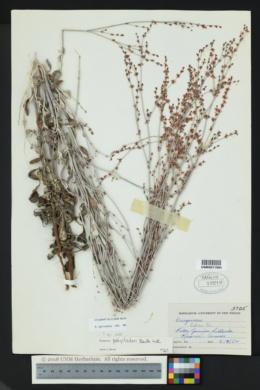 Eriogonum polycladon image