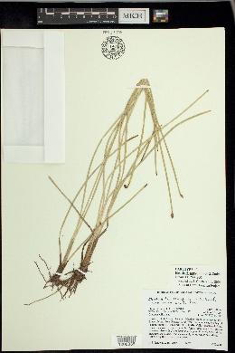 Image of Eleocharis torticulmis