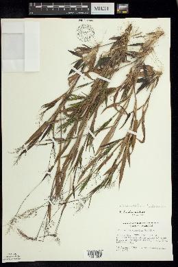 Panicum lindheimeri image