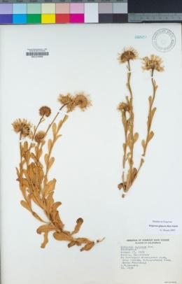 Erigeron glaucus image
