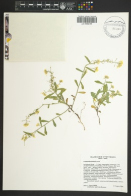 Image of Physaria aurea