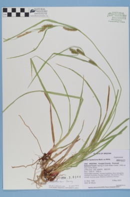 Carex thurberi image