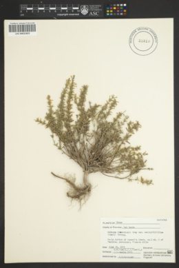 Hedeoma reverchonii var. serpyllifolia image
