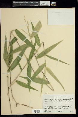 Acroceras zizanioides image