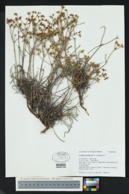 Eriogonum lonchophyllum image