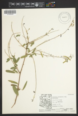 Desmodium cinerascens image