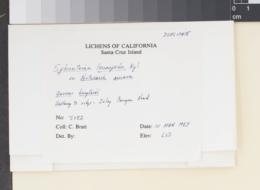 Sphinctrina leucopoda image
