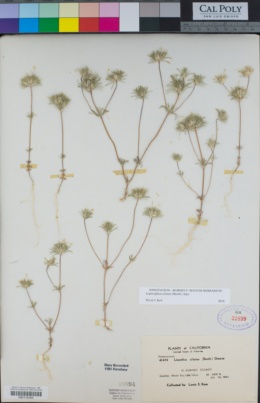 Leptosiphon ciliatus image