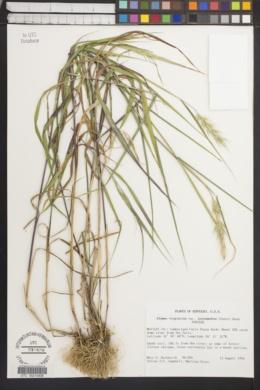 Elymus virginicus var. intermedius image