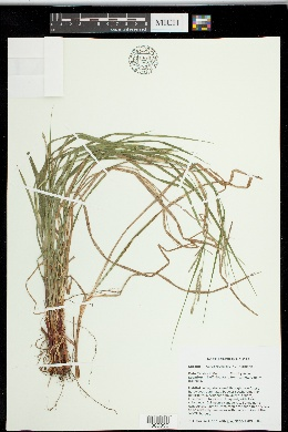 Image of Carex roanensis