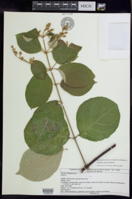 Image of Thryallis latifolia