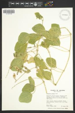 Phaseolus ritensis image