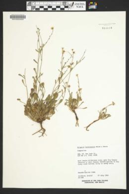 Erigeron kachinensis image