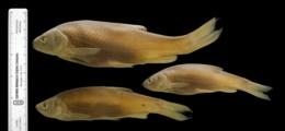 Leuciscus cephalus image