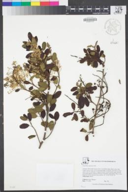 Image of Ceanothus spinosus