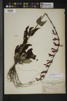 Penstemon eatonii image