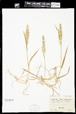 Agrostis densiflora image
