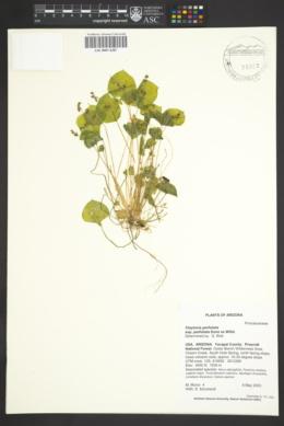 Claytonia perfoliata image