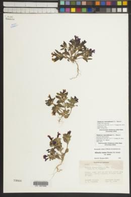 Image of Diplacus cascadensis