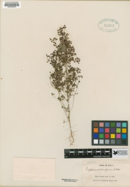 Euphorbia subreniformis image