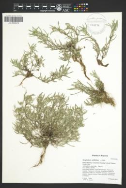 Gnaphalium exilifolium image