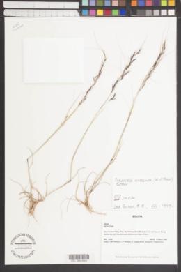 Image of Nassella arcuata