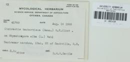 Ustanciosporium taubertianum image