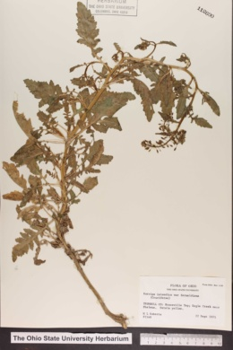 Rorippa palustris image