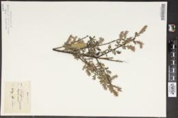 Salix repens image