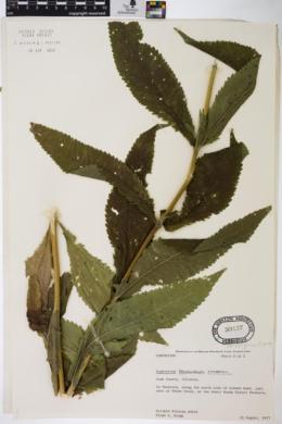 Eupatorium perfoliatum var. cuneatum image