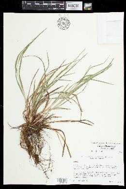 Carex acidicola image