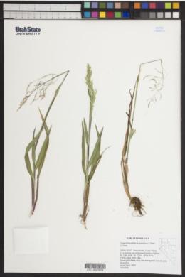 Torreyochloa pallida var. pauciflora image