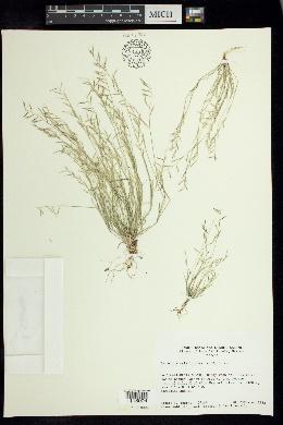 Bouteloua aristidoides image