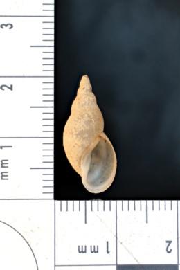 Image of Stagnicola petoskeyensis