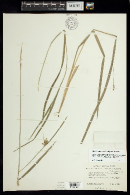 Image of Carex congestiflora