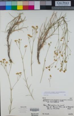 Eremogone macradenia image