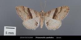 Prionomelia spododea image