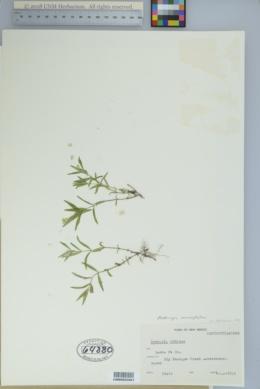 Moehringia macrophylla image