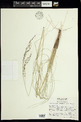 Piptochaetium virescens image