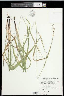 Carex formosa image