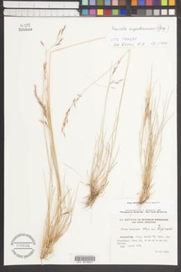Image of Nassella argentinensis
