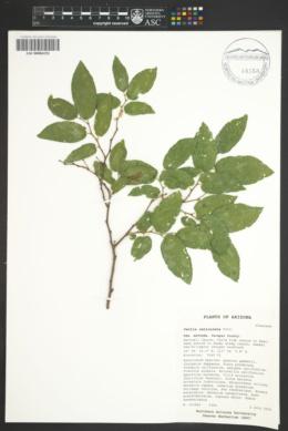 Celtis laevigata var. reticulata image