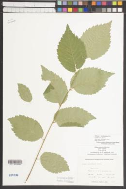 Image of Ulmus x hollandica